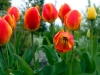 Tulips, Ecoyards, Seattle