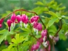 Bleeding Hearts, Ecoyards, Seattle