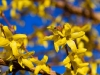 Forsythia - Seattle, Ecoyards.