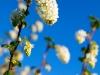 White flowering currant - Seattle, Ecoyards.