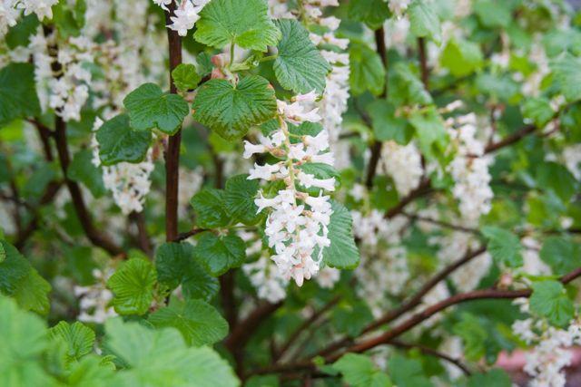 White flowering currant ecoyards white flowering currant seattle ecoyards mightylinksfo
