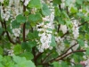 White flowering currant - Seattle, Ecoyards.