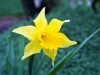 Daffodil - Seattle, Ecoyards.