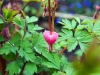 Bleeding heart - Seattle, Ecoyards.