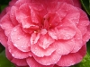 Camellia - Seattle, Ecoyards.