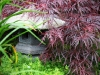 Japanese maple and sedum, West Seattle, Ecoyards.