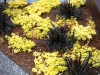 Golden Japanese Sedum interplanted with black mondo grass, West Seattle, Ecoyards