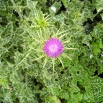 Milk thistle is a noxious weed.