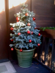 Living Christmas tree installed and decorated for a Mercer Island Ecoyards client