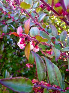 Evergreen Huckleberry, West Seattle, Ecoyards, Vaccinium Ovatum, Landscaping