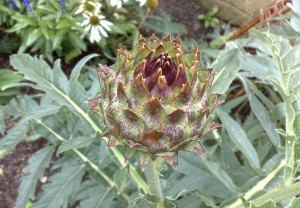 Cardoon. Photo by knackeredhack via Creative Commons license.