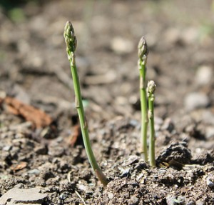 Growing asparagus. Photo by Willow Gardeners via Creative Commons License.